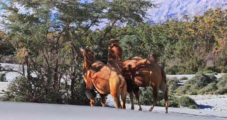 Wild camels in Nubra Valley desert, Ladakh, north India feed on tree berries