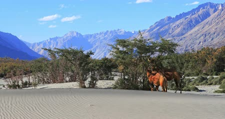 Himalaya highland mountain desert Nubra Valley in Ladakh. Camels on sand dunes