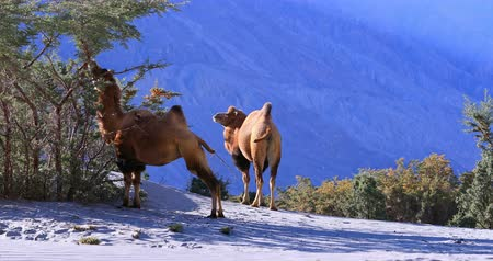 dune : Arid dry climate and hot weather of desert in Ladakh. Camels hide in bush forest