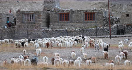 Ladakh countryside rural scene. Domestic animals return to Korzok village. Traditional way of life in north India