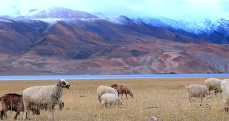 local : Tso Moriri lake and Himalaya mountains in Ladakh, India. Domestic animals in rural countryside on high altitude Stock Footage