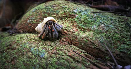 Hermit crab hides in shell. Wildlife animals of rainforest