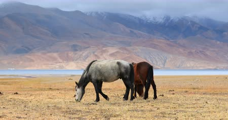 Himalaya nature and wildlife. Horses on bank of Tso Moriri lake in Ladakh graze under rainy clouds. Severe arid climate and weather of early autumn in northern India