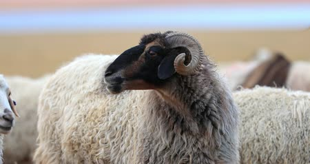 Kashmir horned sheep chewing and looks around portrait video shot. Domestic animals in rural Ladakh, Himalaya, India