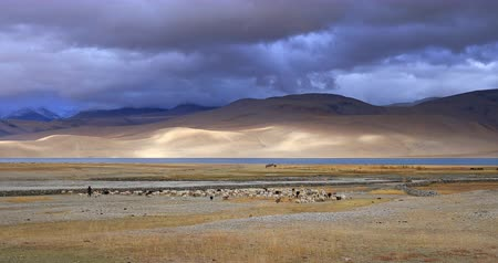 Tso Moriri lake beautiful landscape. Taveling to Ladakh, North India, Himalaya mountain range region. Panoramic view of rural countryside near Korzok village with pasturing domestic animals