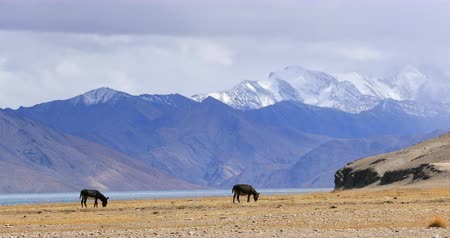 plateau : Himalaya mountains with snow peaks on Tso Moriri lake side. Domestic animals grazing free in Ladakh