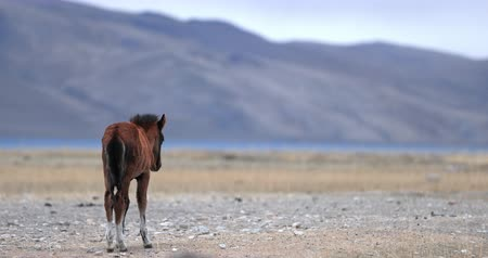 Little foal endures extreme climate and severe weather of Himalaya. Highland landscape environment and rural countryside of Ladakh near Tso Moriri lake