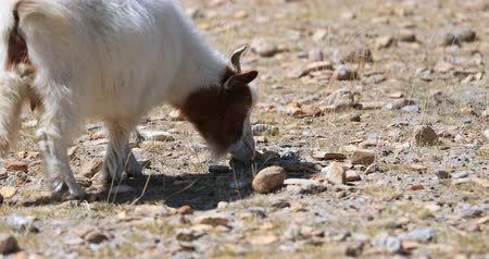 Pashmina goat grazing outdoors. Traditional cashmere wool rural agriculture in Ladakh