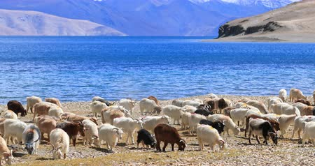 tybet : Pashmina wool goats graze by lake side in rural Ladakh, India