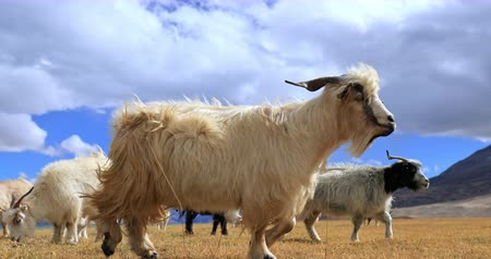 tybet : Pashmina wool goats graze on highland valley in Himalayas, Ladakh, northern India