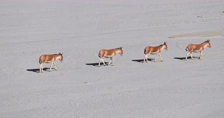 Family of Kiangs Tibetan wild asses travel through high altitude desert in Himalaya highlands, Ladakh, northern India