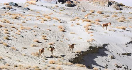Fauna and indigenous animals of Ladakh, north India. Kiangs or Kyangs travel in group in high altitude desert of Himalaya highlands Stok Video