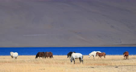 sahne : Many horses graze near Tso Moriri lake in Ladakh, India north. Himalaya countryside beautiful nature landscape