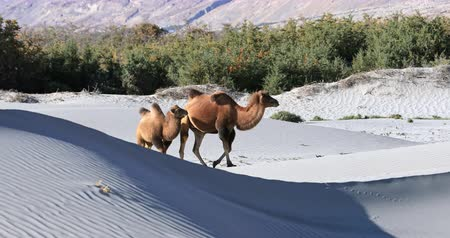 Wild camels on sand dunes of Hunder area in Nubra Valley, Ladakh, north India Stok Video