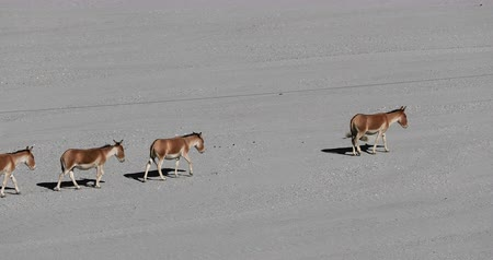 tibet : Kiang or Kyang wild horses of Himalaya slow motion video. Group of animals navigate through dry desert of Ladakh highlands