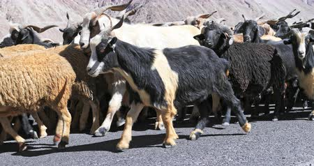 Flock of domestic animals walk on road in Himalaya, north India Stok Video