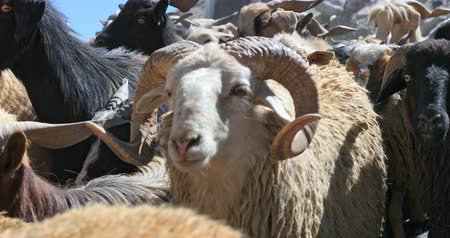 hory : Domestic animals in Himalaya region of north India. Sheep and goats walk along camera