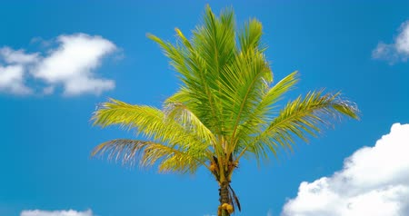 Idyllic palm tree with green leaves against vivid blue sky in tropics