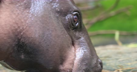 extinct species : Hippo in wild nature close up shot. Endangered animals of Africa wildlife