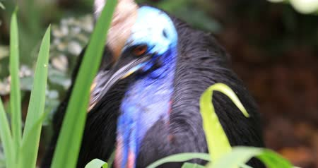 доисторический : Close up portrait of large Southern Cassowary bird in wilderness of tropical jungle forest Стоковые видеозаписи