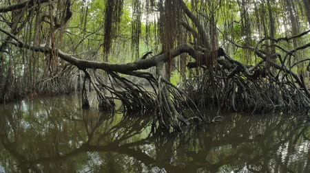 Mangrove tree trunk reflects in river water in tropical swamp forest