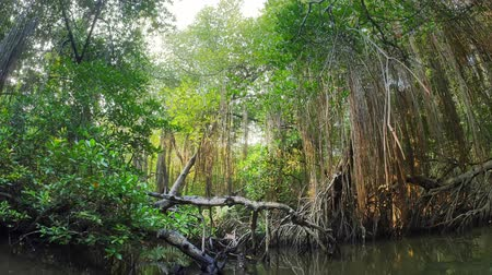 Mangrove forest clumps with unique habitat and variety of wildlife. Trees with big roots grow in salt water. Amazing wild nature beautiful landscape