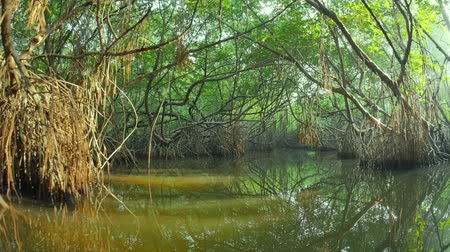 Mangrove trees and green plants amazing nature landscape. Following the river by boat under rainforest vegetation with scenic reflection on calm and tranquil water surface. Travel and adventure video