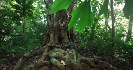 Roots of old big tree trunk in rainforest jungle. Plants and green vegetation in tropical forest