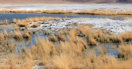 himalaia : Unique flora and nature environment of salt lake Tso Kar in Himalayas. Dry grass hummocks in shallow water and evaporated minerals cover barren shores