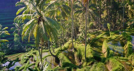Bali rice terraces in Ubud. Traditional culture and agriculture ways in rural Indonesia. Asia travel destinations 影像素材