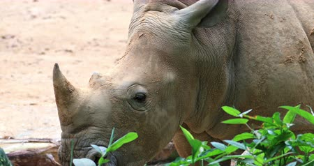 horned : White Rhino in bushes with family group Stock Footage