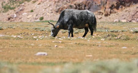Domestic yak with grey fur grazing on dry grass in Himalaya, northern India 影像素材
