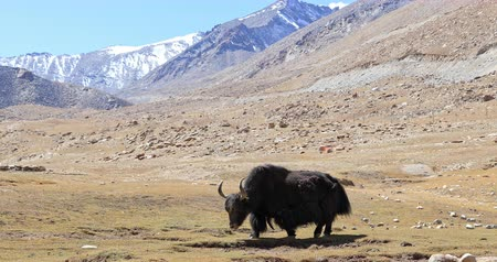 tibeti : Himalaya mountain nature landscape. Wild yak animal grazing outdoors on high altitude pasture with ice and snow peaks seen in distance