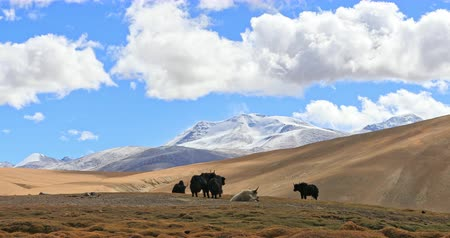 tibeti : Beautiful Himalaya mountains nature landscape with yaks grazing on grassy hills and peaks with snow and ice seen in distance. Scenic panoramic 4K video background of Ladakh highlands