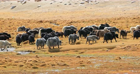 tibeti : Herd of Himalayan Yaks grazing on highland pasture near Korzok village, Ladakh, northern India. Beautiful outdoor landscape of Himalaya nature and domestic animals