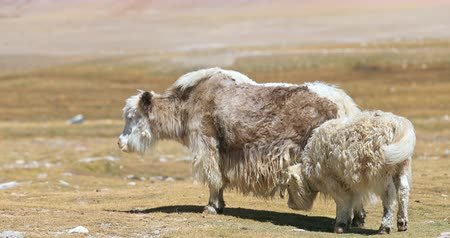 Yak cow feeding her baby calf with milk in Himalaya mountains of Ladakh region. Young bull suckling mother on highland farmland in northern India