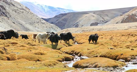 tibeti : Breeding cattle in Himalaya as part of traditional agriculture. Yaks herd grazing on highland pasture of high altitude valley