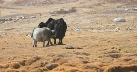 Baby yak calf suckling milk from mother cow in harsh and severe climate and environment of Himalaya highlands in Ladakh region of northern India Stok Video