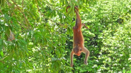 Funny monkey hanging on tree upside down in wild nature of Yala park in Sri Lanka. Wildlife fauna of Asia Stok Video