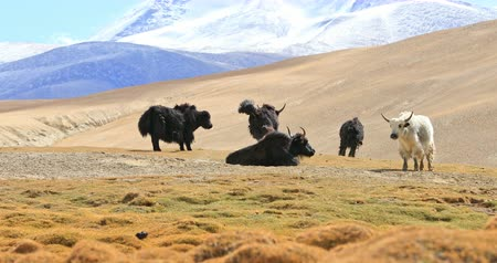 Domestic yaks grazing in highland nomadic camp near Tso Moriri lake in autumn season. Traveling to Ladakh nature landscape Stok Video