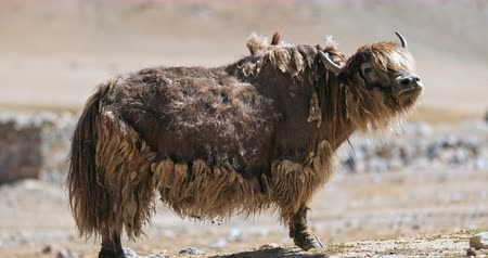 Yak Himalayan animal in wild nature in high altitude of Tibet. Portrait of bull with long brown color fur that will be used for traditional wool and fabrics
