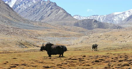 tibeti : Himalaya mountains nature landscape. Yaks graze on meadow among high snow peaks in Ladakh region in northern India