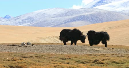 tibeti : Himalayan yaks grazing on high altitude pasture in Ladakh, northern India Stock mozgókép