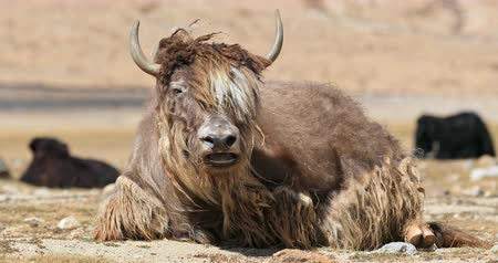 tybet : Yak wool and fur from Himalaya highlands. Large male bull in mountain pasture