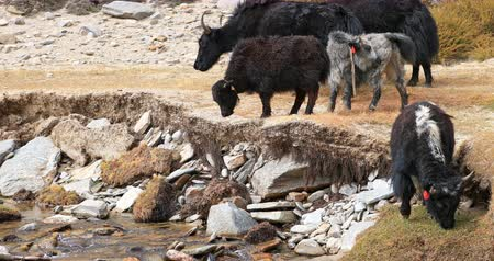 tibeti : Herd of domestic yaks in Himalaya rural regions. Traditional agriculture of Tibet