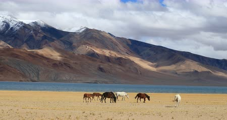 korzok : Tso Moriri lake landscape. High mountains with snow peaks, cold water and horses grazing near Korzok village in Ladakh, northern India