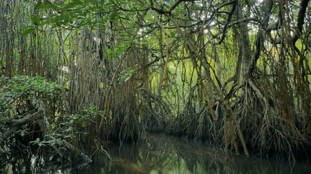 eco tourism : Tropical environment of mangrove forest. Rainforest reserve with swamps and wetlands flooded by water. Exotic trees grow tall and dense Stock Footage