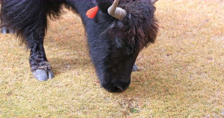 tibeti : Close up view of domestic Yak eating grass on highland pasture