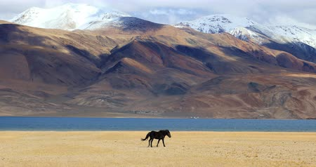 Тибет : Tso Moriri lake landscape. Snow peaks of Himalaya mountains and black horse walks along water edje in Ladakh, northern India Стоковые видеозаписи