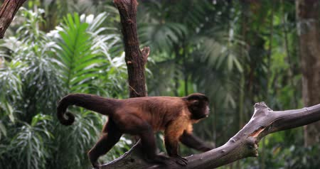 wilderness : Amazon forest endangered animals. Tufted Capuchin ape monkey on tree branch in evergreen rainforest of Brazil